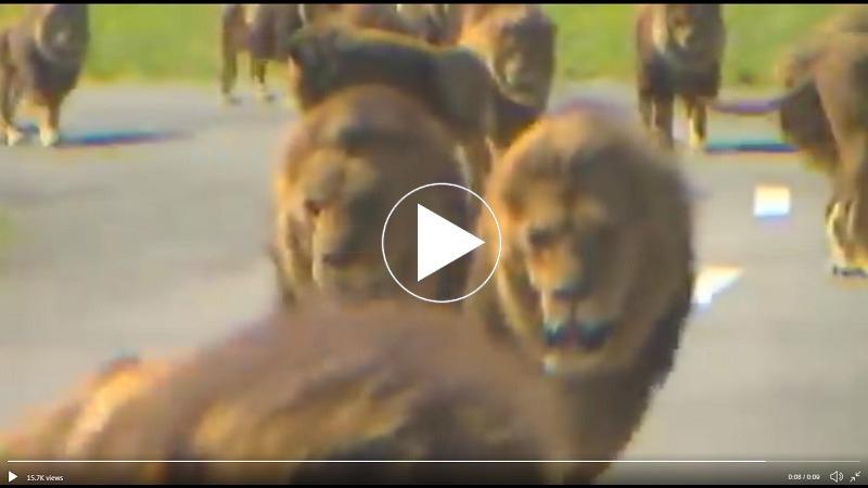 ਵੀਡੀਓ ਵਾਇਰਲ : ਸੜਕ ਵਿਚਕਾਰ ਬੱਬਰ ਸ਼ੇਰਾਂ ਨੇ ਕੀਤੀ Cat Walk, ਦੇਖਣ ਵਾਲੇ ਦੇ ਉੱਡੇ ਹੋਸ਼