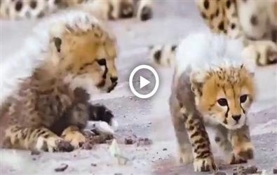 ਕਿਊਟ Babyਚੀਤੇ ਦੀ ਇਹ Video ਤੁਹਾਡਾ ਵੀ ਮੋਹ ਲਵੇਗੀ ਦਿਲ, ਦੇਖੋ ਇਕ ਕਲਿੱਕ 'ਤੇ